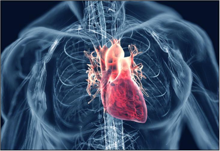cardiovascular_system2.jpg