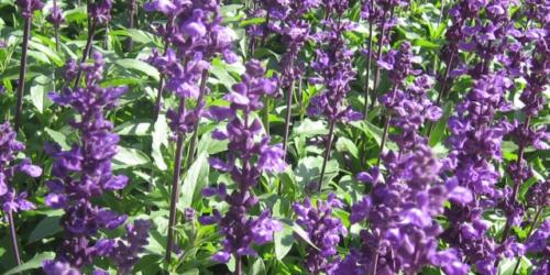 Salvia officinalis – remedium na upał?