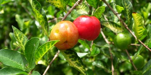 Wiśnia z Barbadosu