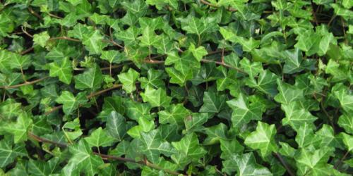 Nie tylko na kaszel – Hederae Folium
