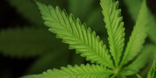 Marihuana powoduje zmiany w ośrodku nagrody w mózgu