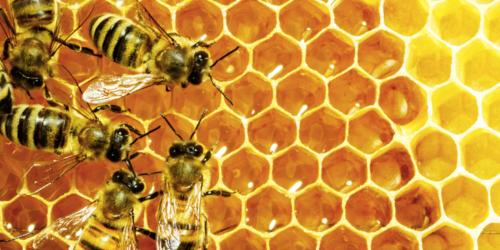 Polscy naukowcy na ratunek pszczołom