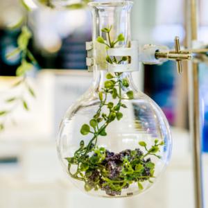 10 najniebezpieczniejszych roślin wykorzystywanych dawniej w lecznictwie