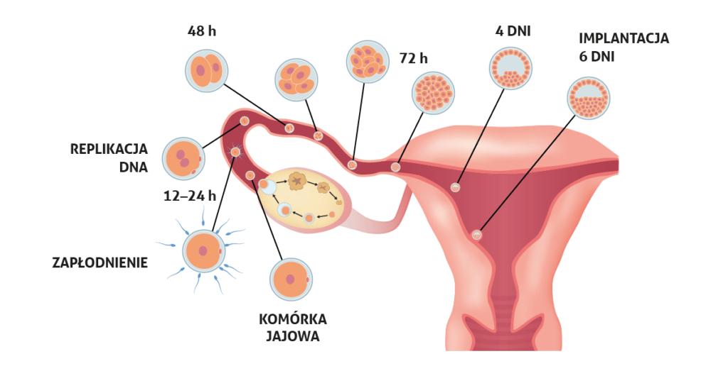 Wydarzenia od momentu od owulacji do implantacji (fot. Shutterstock)