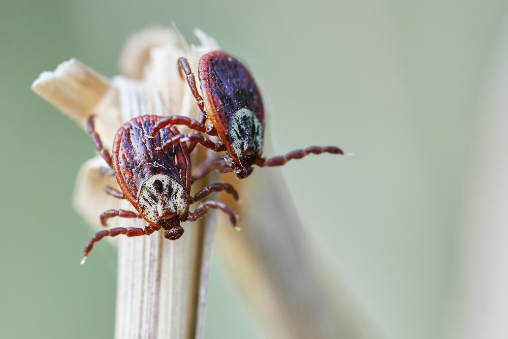 Wektorami dla krętków z gatunku Borellia są tylko i wyłącznie kleszcze (fot. Shutterstock)